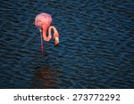 An Adult Greater Flamingo ...