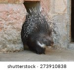 Porcupine  Focus On Face