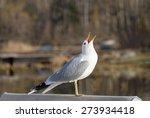 Seagull Raising It's Head And...