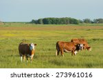 Grazing Herford Cows On Dutch...