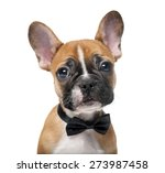 Stock photo french bulldog puppy wearing a bow tie in front of a white background 273987458