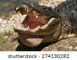 American Alligator On The...