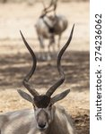Small photo of Addax sitting. Portrait. Between its horns two others can be spotted