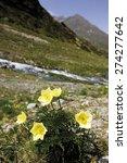 Small photo of Austria, Tyrol, Kaunertal, Alpine Anemone Flower (Pulsatilla alpina), close-up