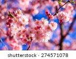 pink sakura flower blooming ... | Shutterstock . vector #274571078