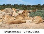 Pride Of Lions  Panthera Leo