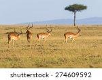 Impala Antelope Walking On The...