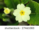 Pale Yellow Primrose  Primula...