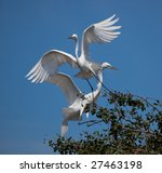 Pair Of Snowy White Egrets Play ...