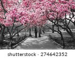 Pink Blossoms In Central Park...
