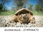 Common Snapping Turtle Covered...