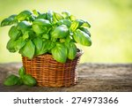 Organic Basil Plant In The...