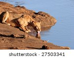 Female Lion Drinks From Lake I...