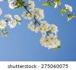 Blossom Cherry Against A Blue...