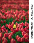 a field of tulips were one... | Shutterstock . vector #275060552