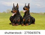 Two Black Dobermans Are Laying...