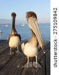Two California Pelicans On The...