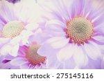 Beautiful Chrysanthemum Flower...