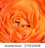 Orange Rose Flower  Close Up ...