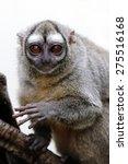 Gray Bellied Night Monkey