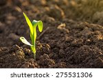 growing young green corn... | Shutterstock . vector #275531306