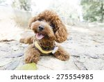 Toy Poodle Lying On Concrete...