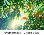 ash leaves starting to turn red ... | Shutterstock . vector #275558438
