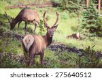 wild deer walking in the forest | Shutterstock . vector #275640512