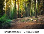 Sunset Glow on the Forest, Sequoia National Park, California  - stock photo