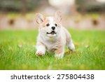Stock photo pembroke welsh corgi puppy running 275804438