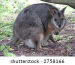 Tammar Wallaby And Joey