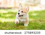 Stock photo pembroke welsh corgi puppy running 275893235