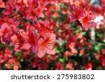 Red Azalea Flowers On A Bush I...