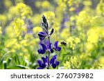 Bee Pollinates Lupine In The...