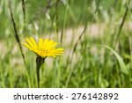 Small photo of Inflorescence Tragopogon pratensis (Meadow Salsify, Showy Goat's-beard, Meadow Goat's-beard or Jack-go-to-bed-at-noon)nautia arvensis (Field Scabious)