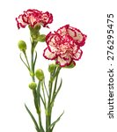 vareigated carnation flowers... | Shutterstock . vector #276295475