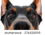 Stock photo so curious close up of muzzle of dobermann pinscher on isolated white background 276320555