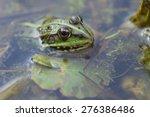 Green Frog Pelophylax...