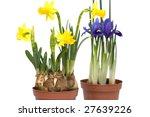Miniature Daffodil And Iris