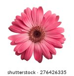 Pink Gerbera Daisy Isolated On...