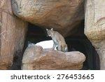 Mountain Lion Sitting On Rock...