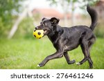 Black Mixed Breed Dog Playing...