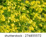 Yellow Elder  Yellow Bells  Or...