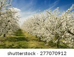 Spring Flowering Cherry And...