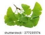 Ginkgo Biloba Leaves Isolated...