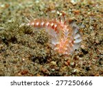 Small photo of Dark-lined fireworm (Chloeia fusca, fireworm, polychaeta, annelida)