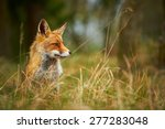 wild red fox behind tall grass | Shutterstock . vector #277283048