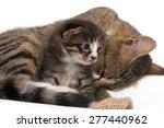 little kitten with a cat | Shutterstock . vector #277440962