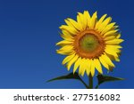 sunflower and  blue sky... | Shutterstock . vector #277516082
