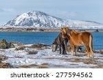 Icelandic Horses On The Side O...